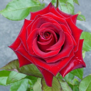Саженец розы Черная магия