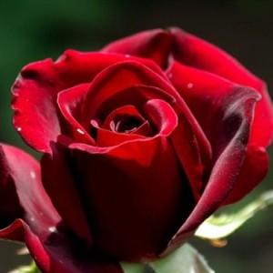 Саженец розы Черный принц