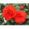 Саженец розы флорибунды Чин-Чин: фото и описание