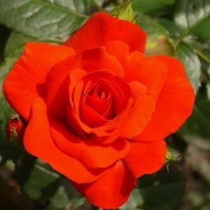 Саженец розы Чин-Чин