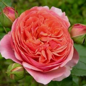 Саженец розы Чиппендейл