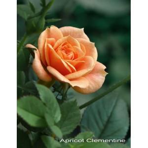 Саженец розы Clementinte (Клементина)