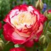 Саженец розы Дабл Делайт: фото и описание