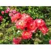 Саженец парковой розы Декор Арлекин: фото и описание