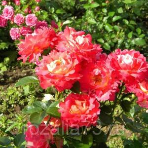 Саженец розы Декор Арлекин