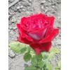 Саженец розы Динамит: фото и описание