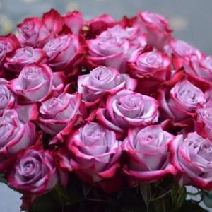 Саженец розы Дип Перпл