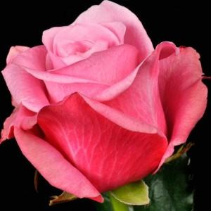 Саженец розы Дип Вотер
