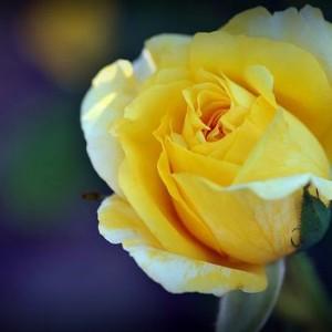 Саженец чайно-гибридной розы Джина Лоллобриджида