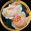 Саженец розы Джуд Обскур: фото и описание
