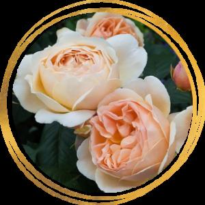 Саженец розы Джуд Обскур