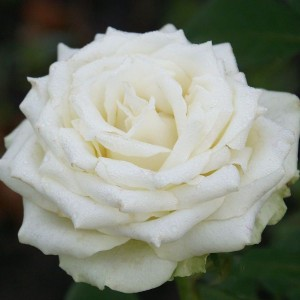 Саженец розы Эдвин