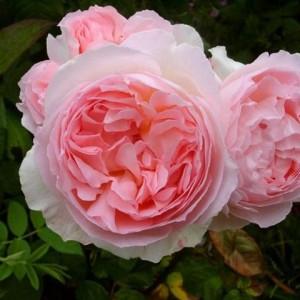 Саженец розы Эглантин