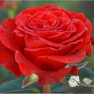 Саженец розы El Toro (Эль Торо)