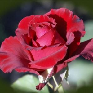 Саженец розы Erotika