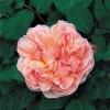 Саженец  английской розы Эвелин (Evelyn): фото и описание