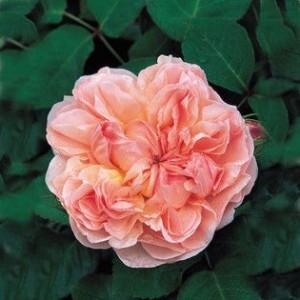 Саженец розы Эвелин (Evelyn)