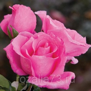 Саженец розы Европа
