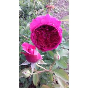 Саженец розы Фальстафф
