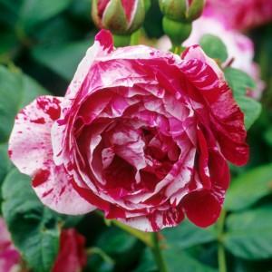 Саженец розы Фердинанд Пишард