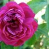 Саженец розы Фейри Чейнджлинг: фото и описание