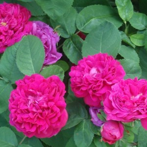 Саженец розы Фейри Чейнджлинг