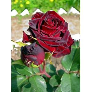 Саженец розы Фиджи Негро