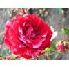 Саженец розы флорибунда Сатин: фото и описание