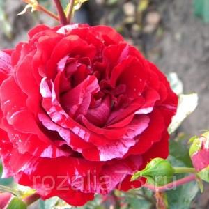 Саженец розы флорибунда Сатин