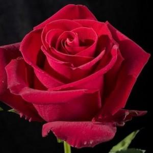Саженец розы Forever Young (Форевер янг)