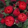Саженец розы Фортепиано: фото и описание
