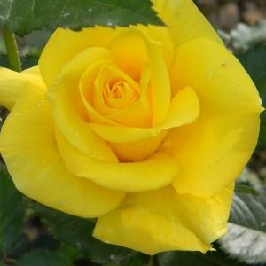 Саженец чайно-гибридной розы Фрезия