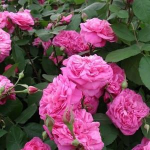 Саженец розы Гертруда Джекилл