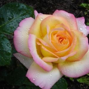 Саженец розы Глория Дей