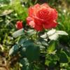 Саженец розы Голд Перл Штейн: фото и описание