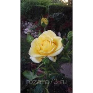 Саженец розы Голден Медальон