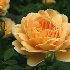 Саженец розы Голден Селебрейшн
