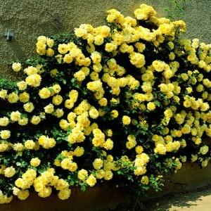 Саженец розы Голден Шауэрс