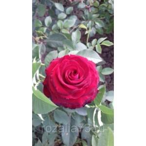 Саженец розы Госпел (Gospel)