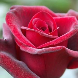 Саженец розы Гранд гала