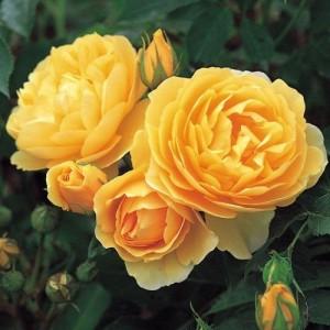 Саженец розы Грэхем Томас
