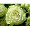 Саженец розы Грин Ти: фото и описание