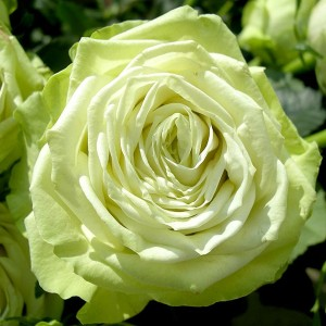 Саженец розы Грин Ти