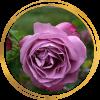 Саженец розы Хаирлум: фото и описание