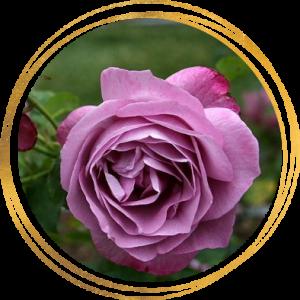 Саженец розы Хаирлум