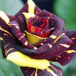Саженец розы Hokus Pokus (Фокус-Покус)
