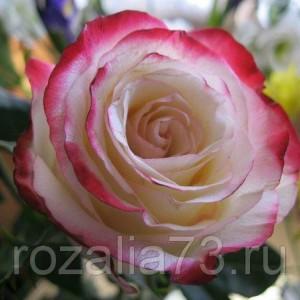 Саженец розы Кабаре