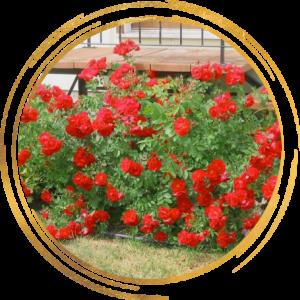 Саженец канадской розы Аделаида Худлес