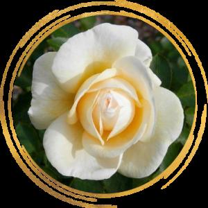 Саженец канадской розы Джей Пи Коннел