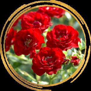 Саженец канадской розы Хоуп фо Хьюманити
